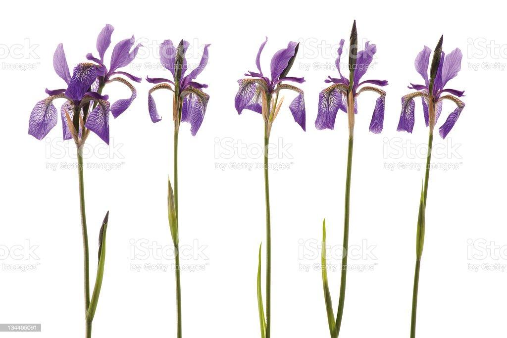 Five purple Iris stock photo