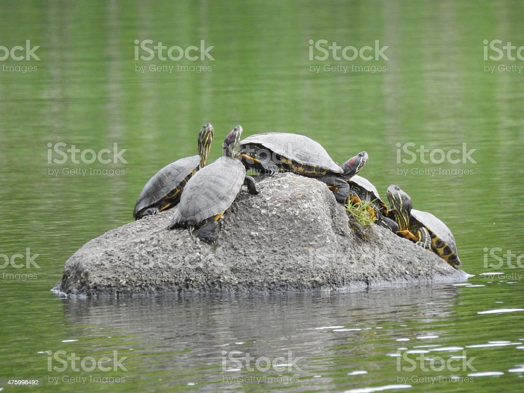Five red eared turtles on a rock royalty-free stock photo
