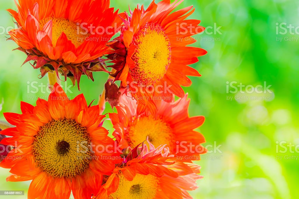 Five Red Sunflowers in bouquet outside against greenery(P) stock photo