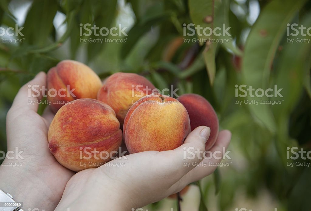 Five ripe peaches in cupped hands stock photo