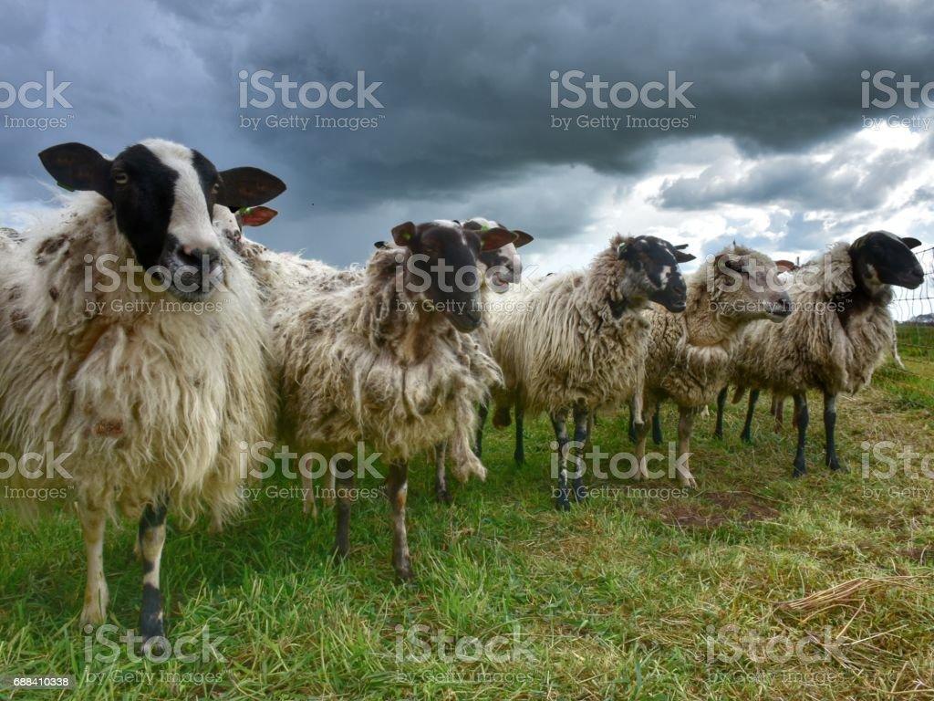Five sheep looking stock photo
