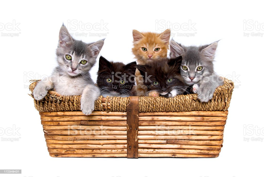 Five small kittens in a wicker basket royalty-free stock photo