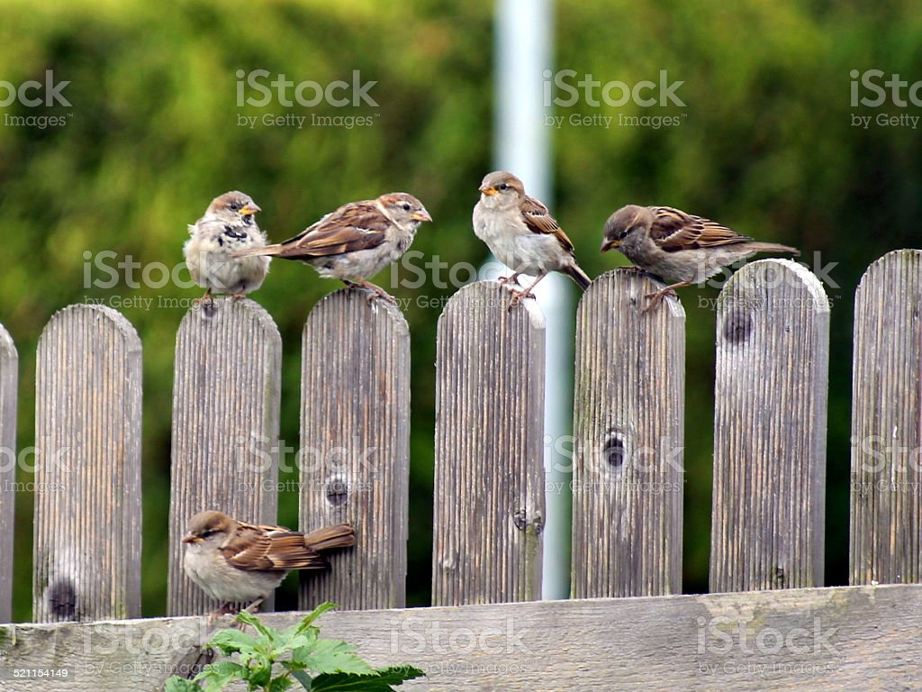 Five sparrow fledglings sitting on a fence stock photo