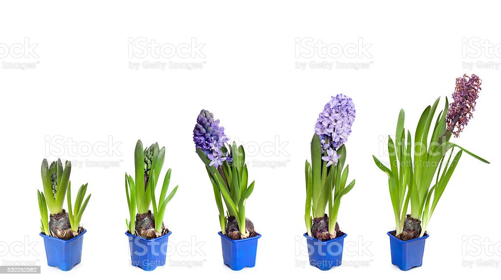 Five  stages of hyacinth blossoms stock photo