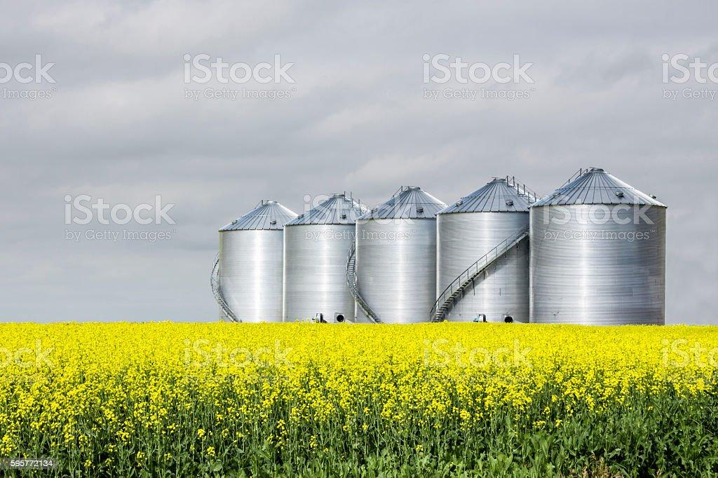 five steel grain bins sitting in canola field. stock photo