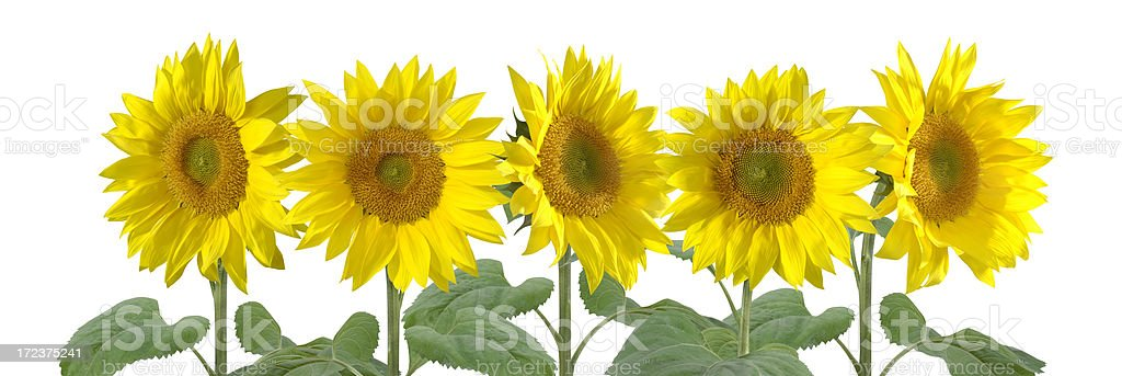 Five Sunflowers stock photo