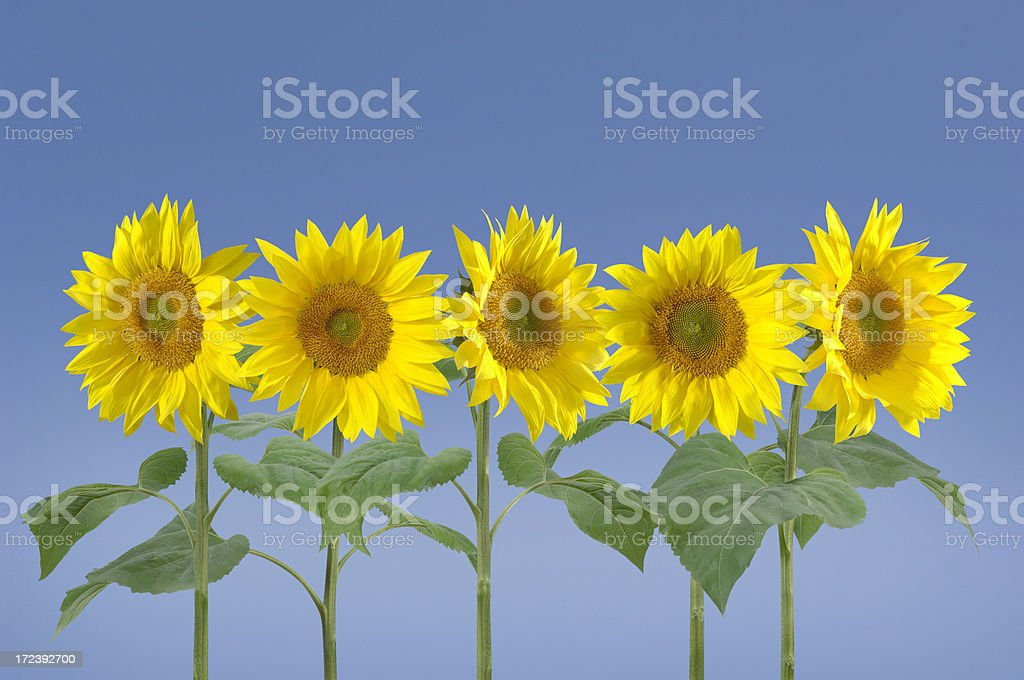 Five Sunflowers royalty-free stock photo