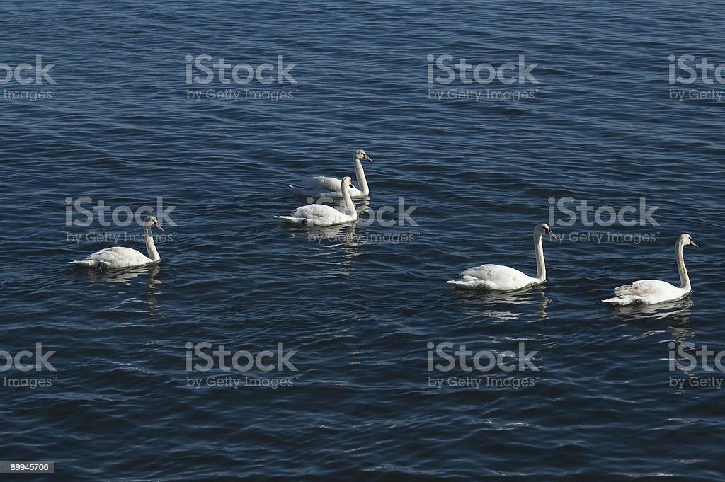 Five Swans Swimming royalty-free stock photo