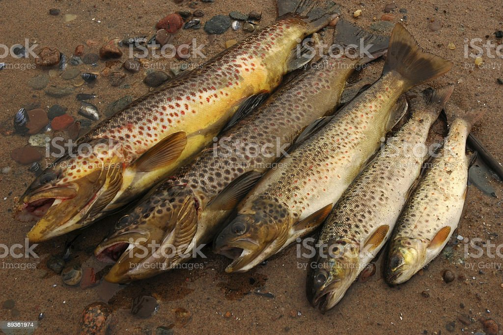 five trouts stock photo