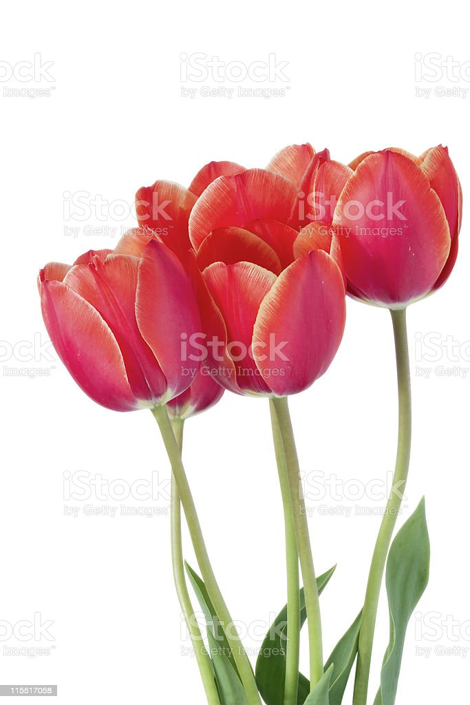 five  tulips. royalty-free stock photo