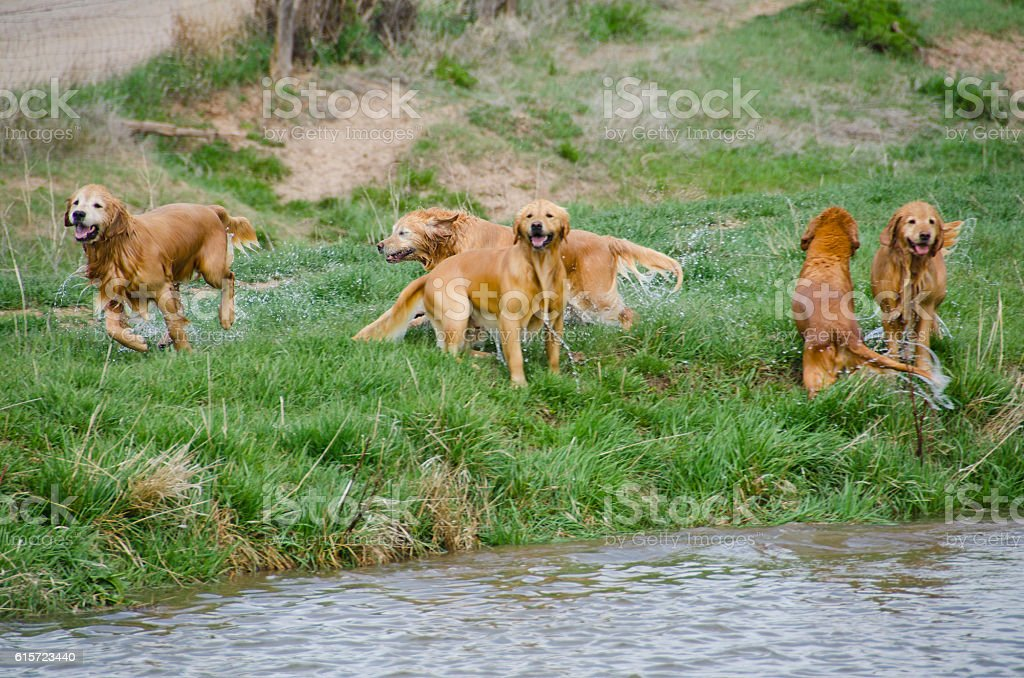 Five Wet Golden Retrievers stock photo