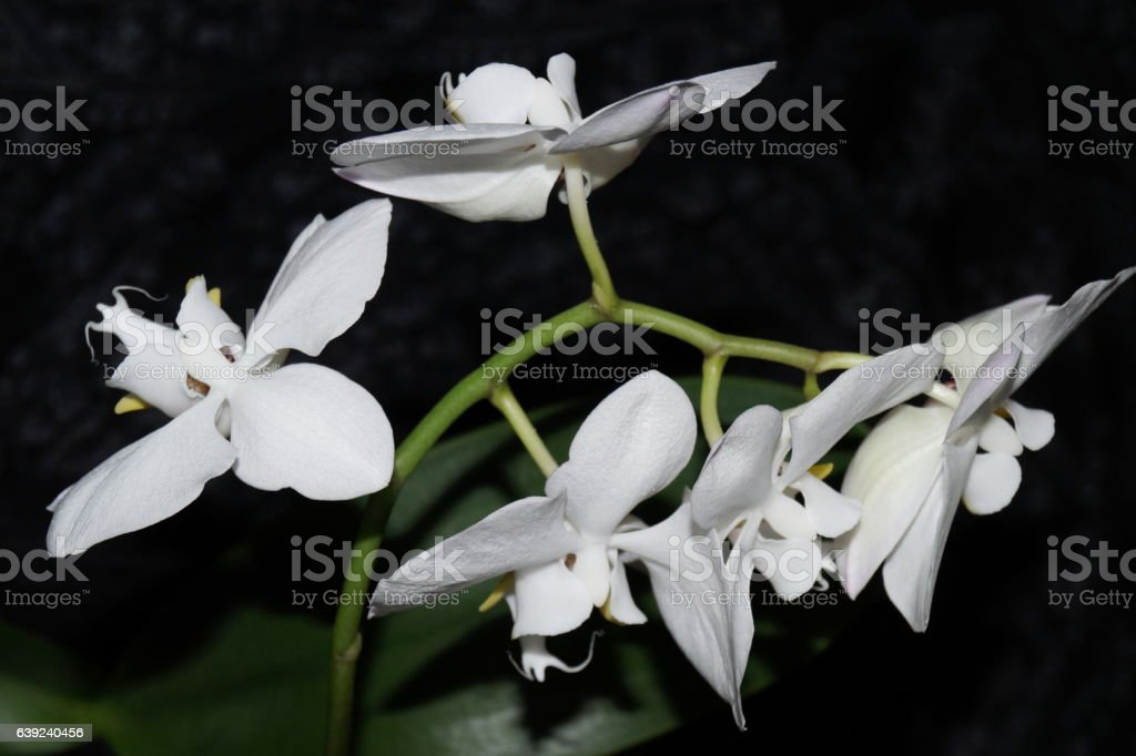 Five white orchids with leaves stock photo