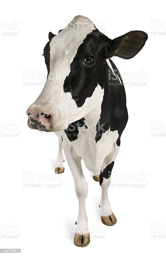 Five year old Holstein cow standing facing forward stock photo