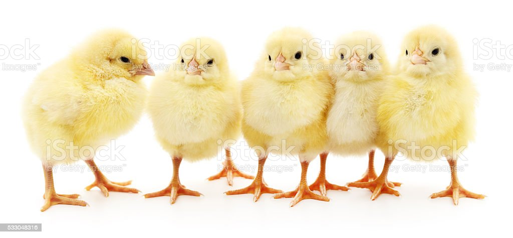 Five yellow chickens. stock photo