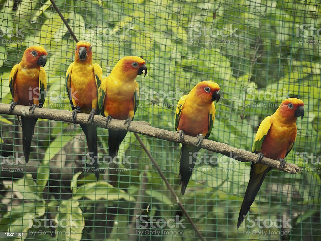 five yellow parrots stock photo