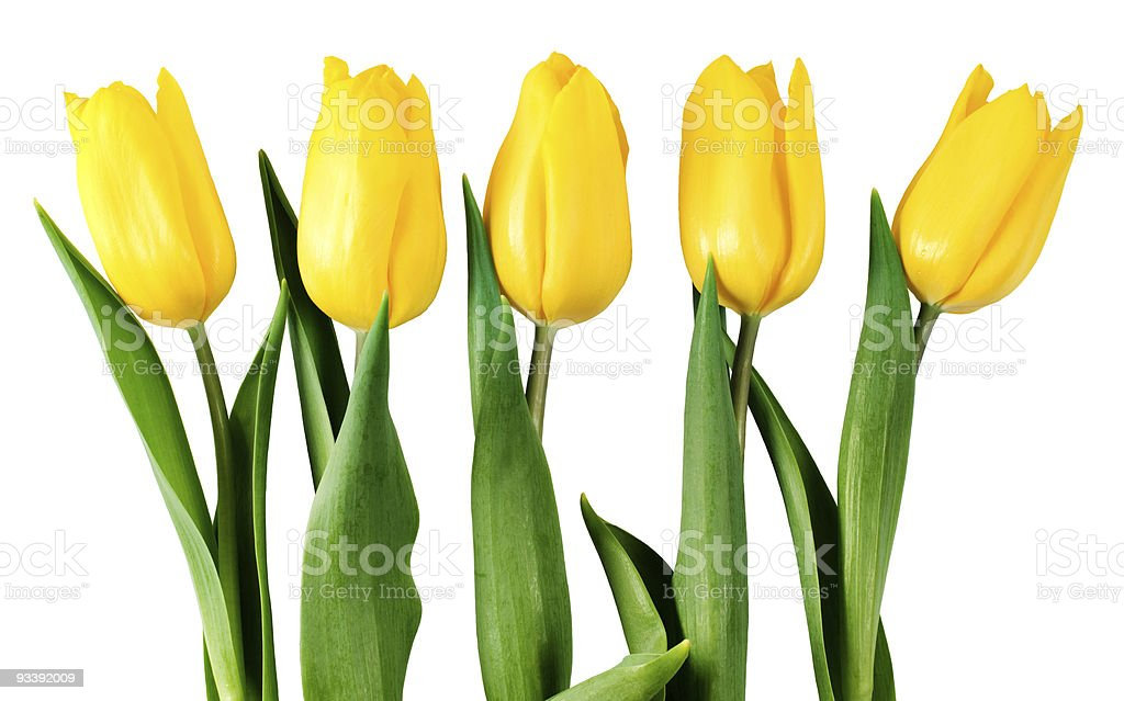 five yellow tulips royalty-free stock photo