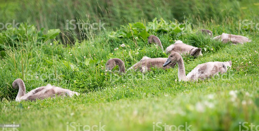 Five young swans in the town sitting in grass stock photo