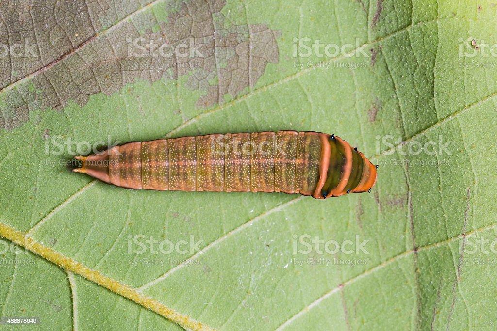 Five-bar Swordtail caterpillar stock photo