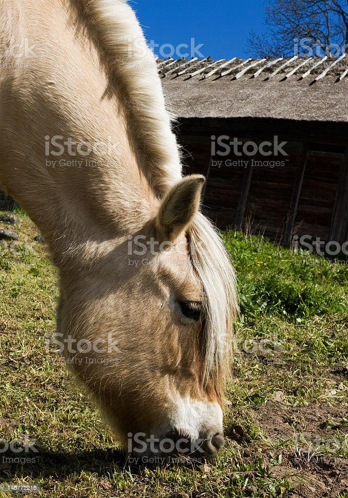 Fjord Horse royalty-free stock photo