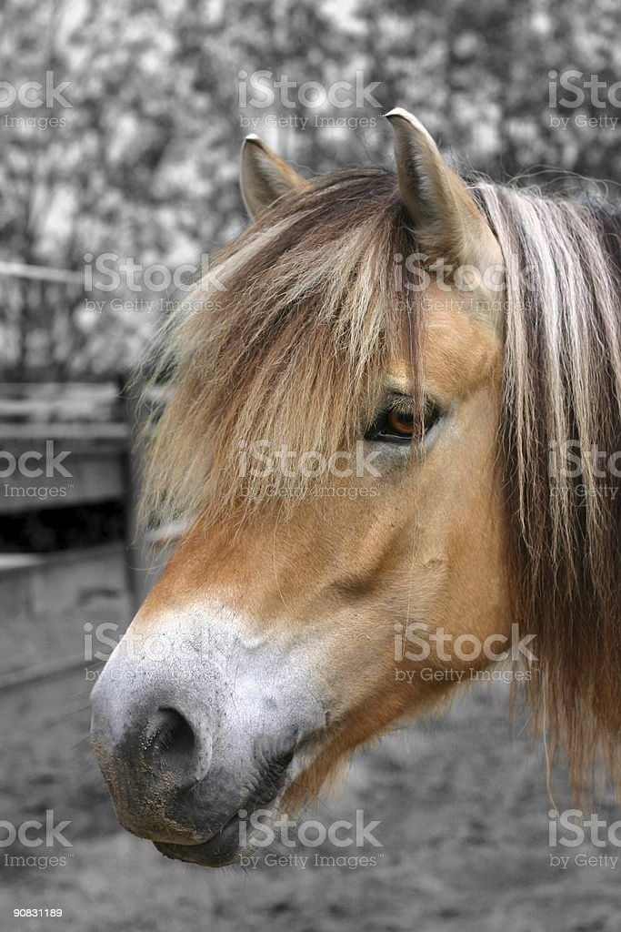 Fjord horse portrait royalty-free stock photo