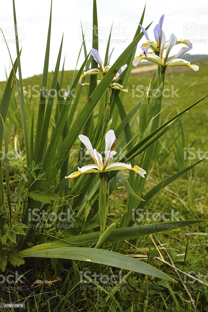 Flagger flower stock photo