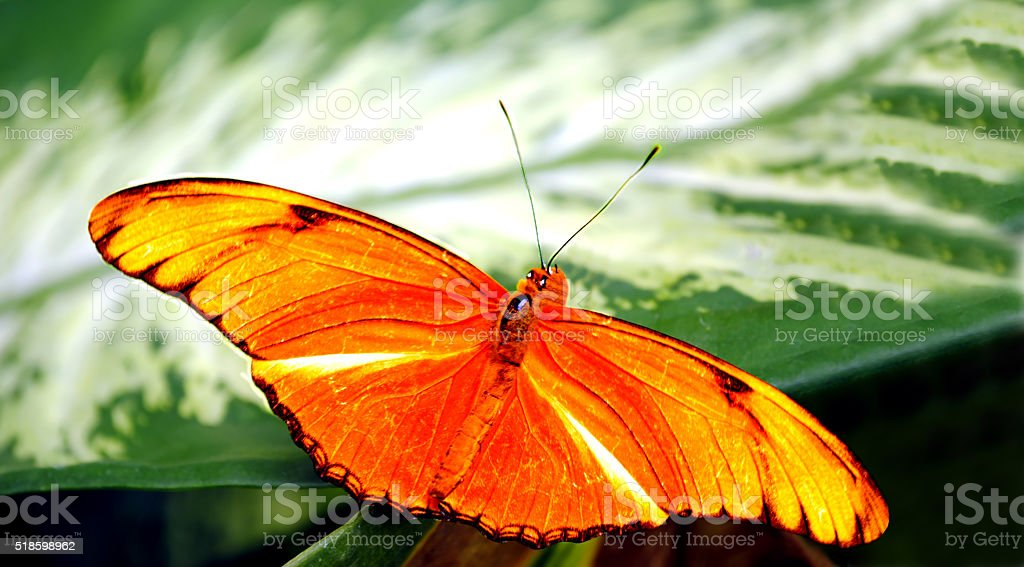 Flambeau butterfly Latin name Dryas iulia stock photo