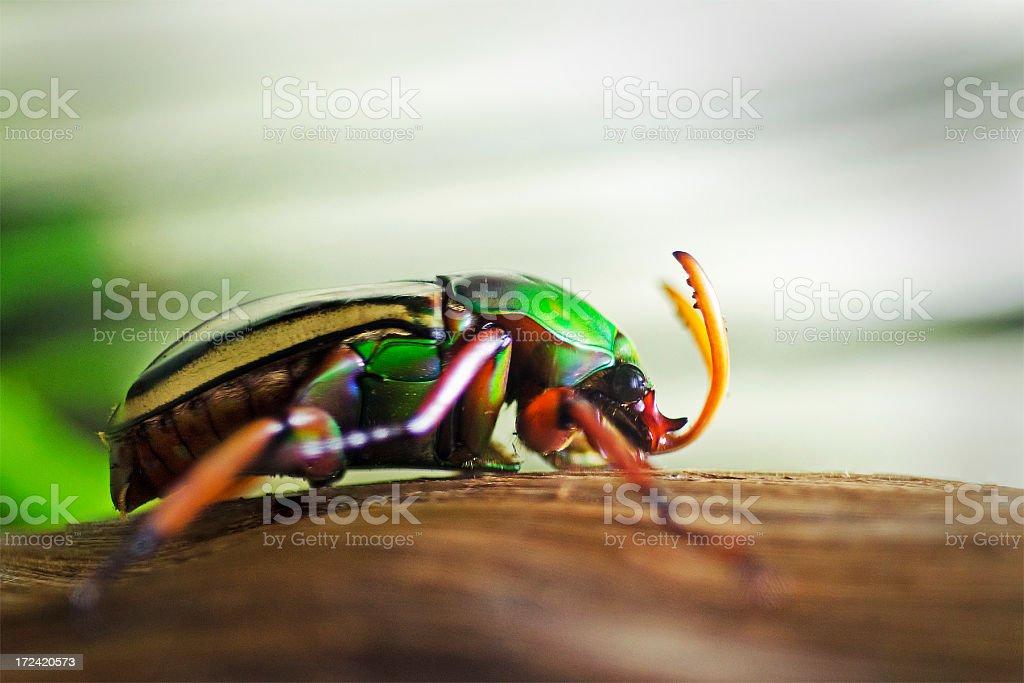 flamboyant flower beetle  Eudicella gralli stock photo