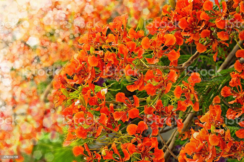 Flamboyant or Delonix Regia and blurred lights background stock photo