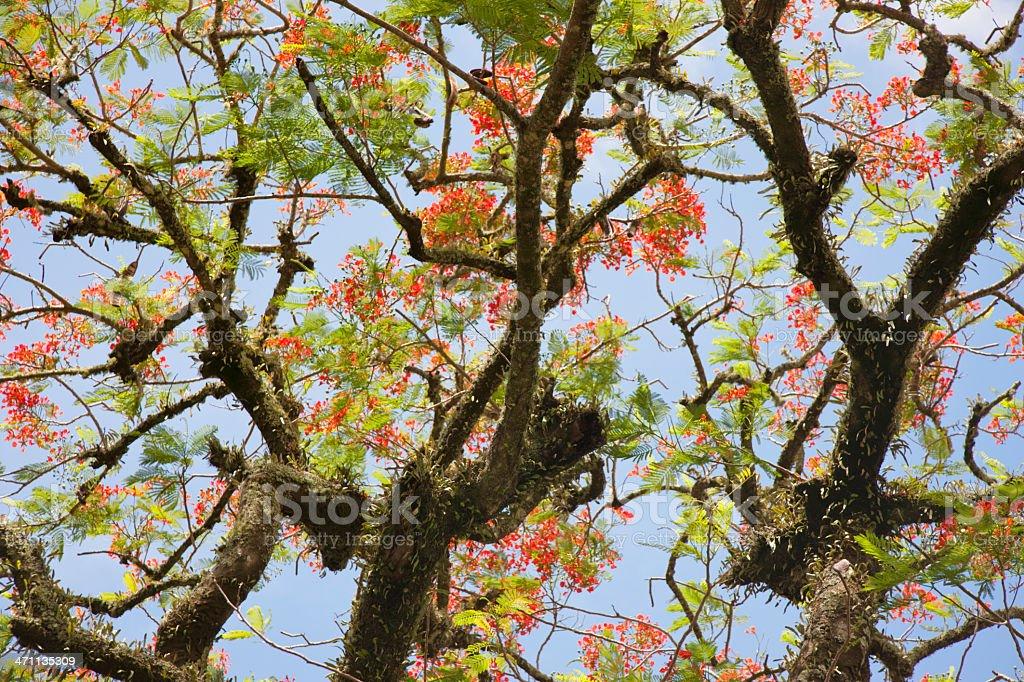 Flamboyant Tree royalty-free stock photo
