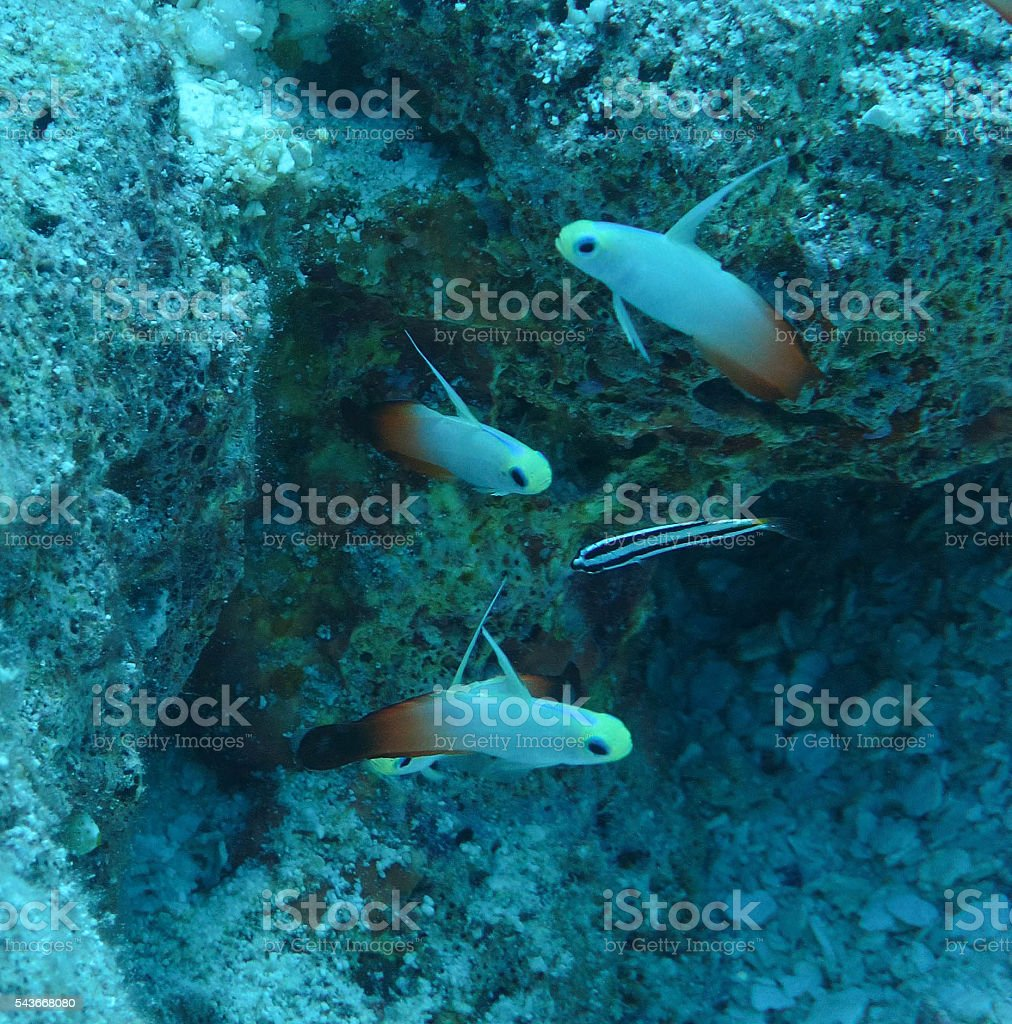 Flame Dartfish stock photo