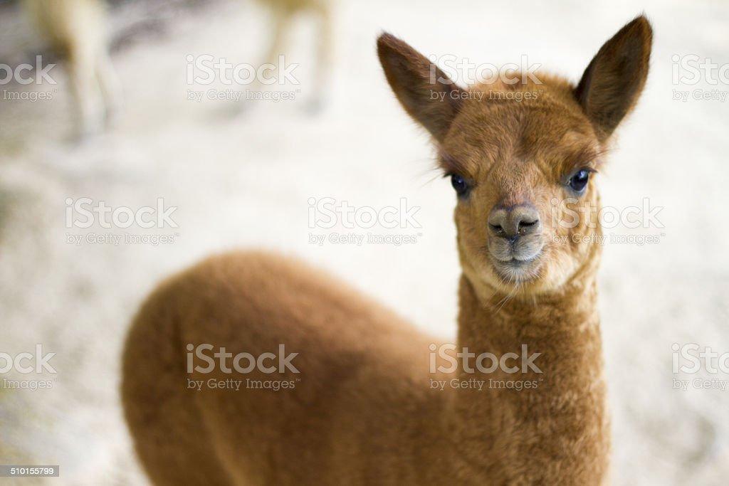 Lama Lizenzfreies stock-foto