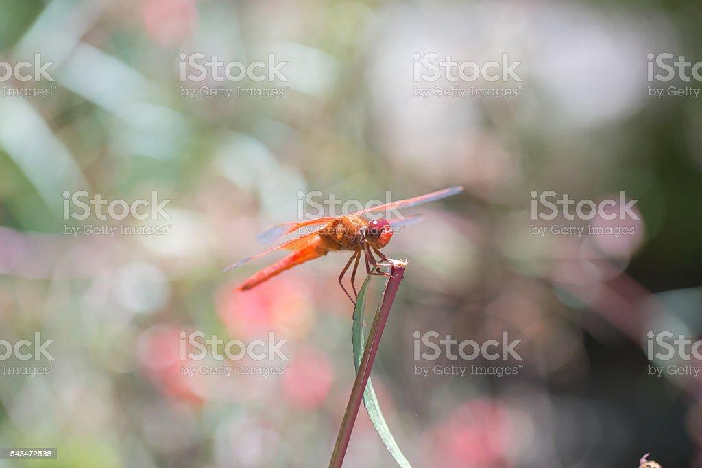 Flame (firecracker) Skimmer - Libellula saturata dragonfly stock photo