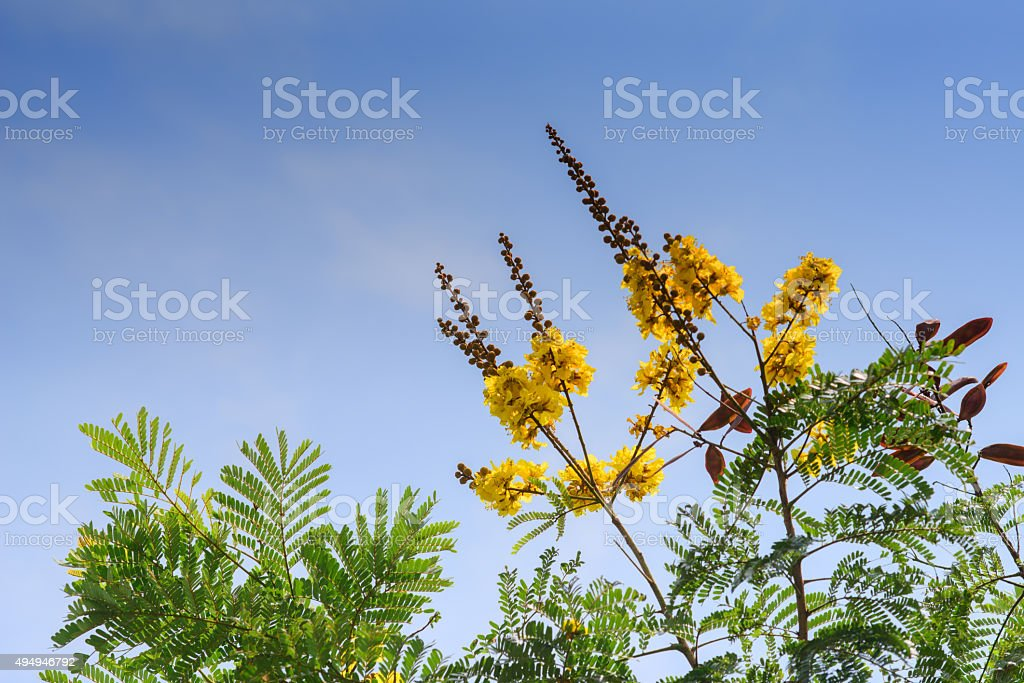 Flame tree Flower (Poinciana) blossom in park stock photo