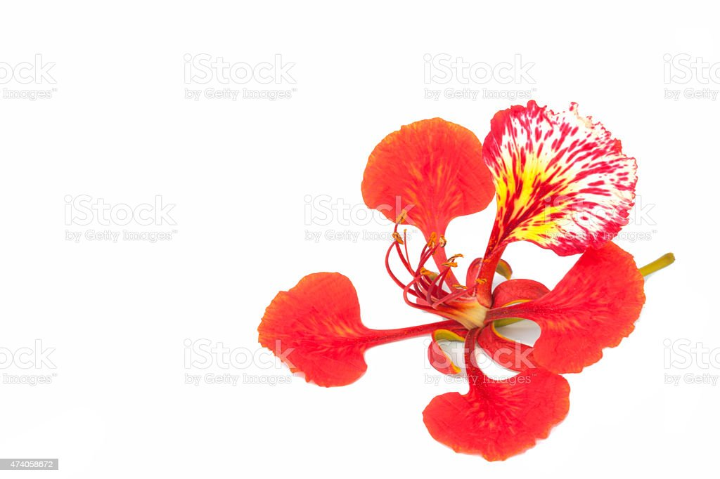 Flame tree flower isolated on the white background stock photo