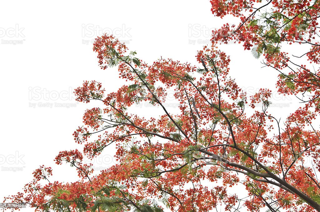 Flame Tree or Royal Poinciana royalty-free stock photo