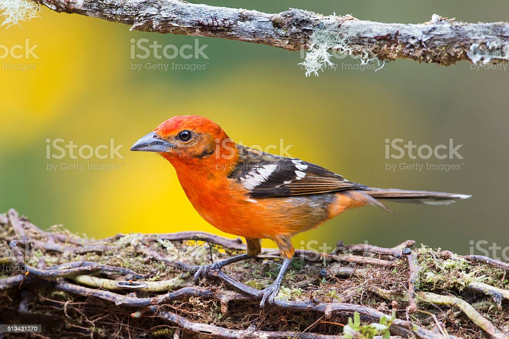 Flame-colored Tanager Male stock photo
