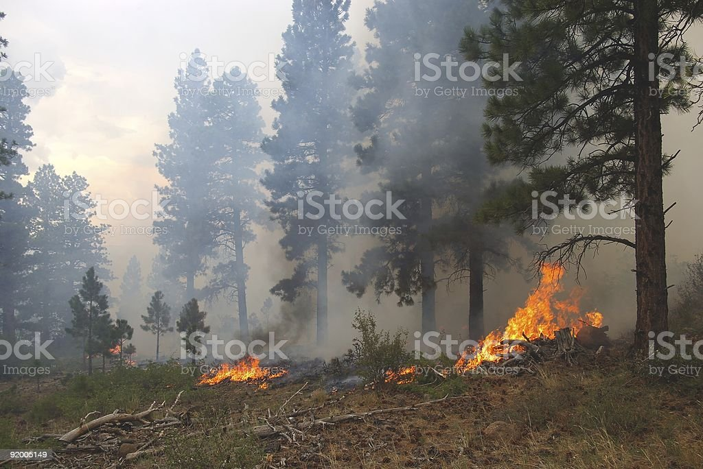 Flames on the ground in a forest fire by pine trees stock photo