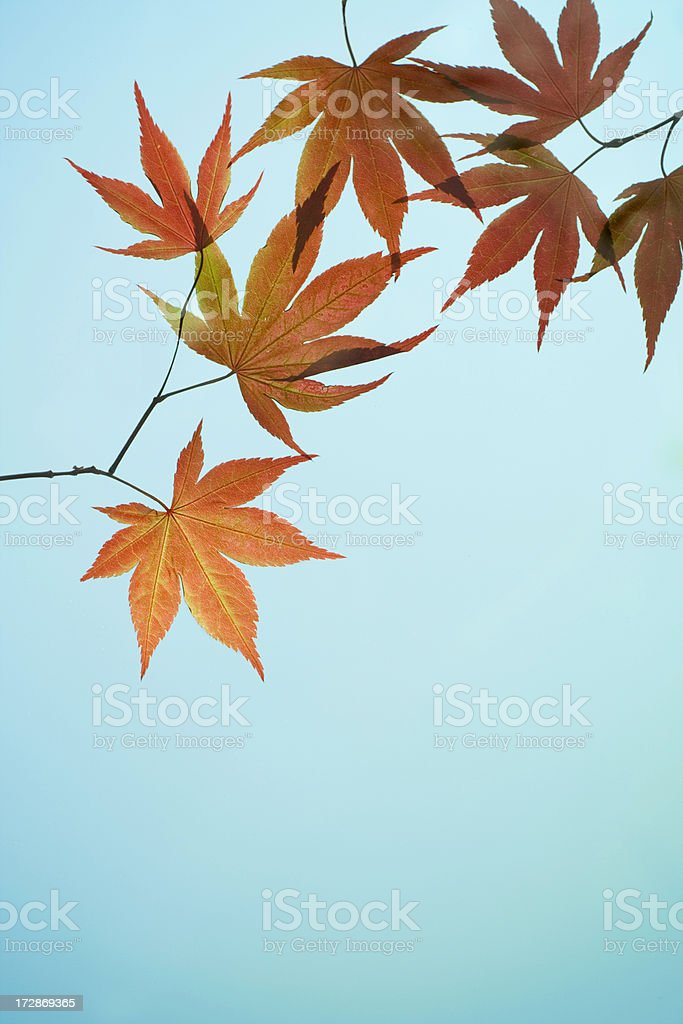 Flaming Japanese Maple royalty-free stock photo