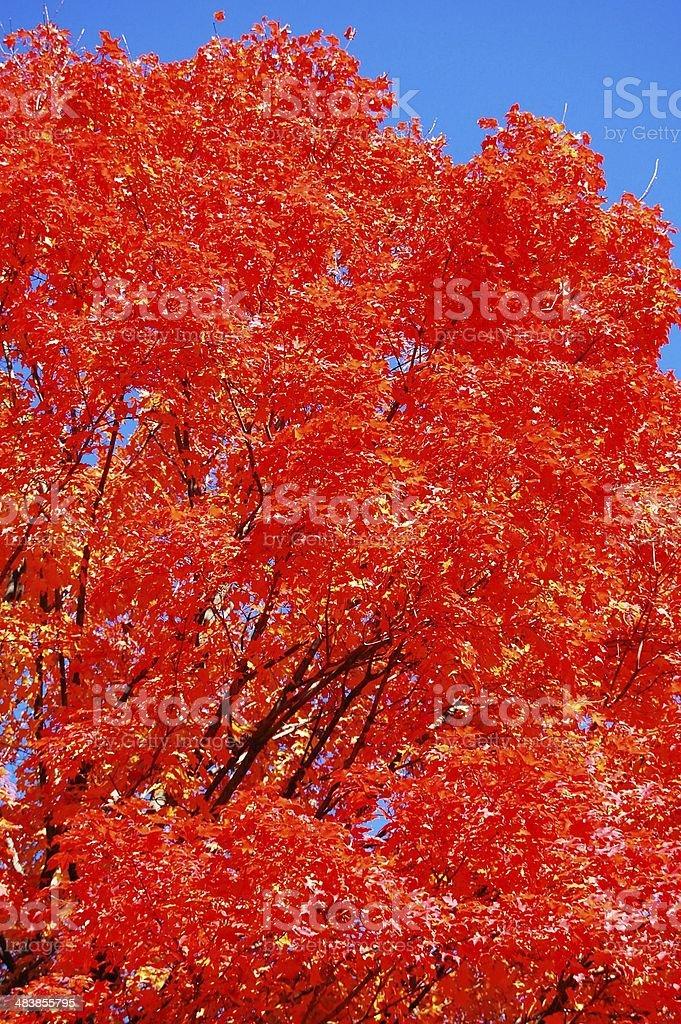 Flaming Maple Tree in Wellesley, Massachusetts stock photo