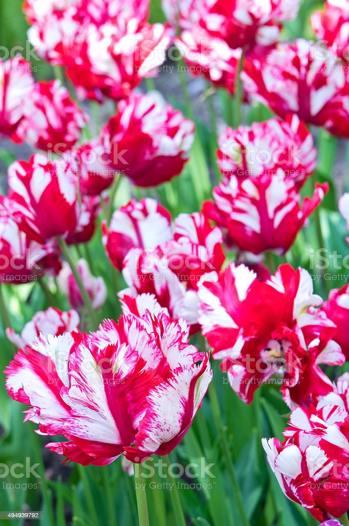 Flaming Parrot tulips stock photo