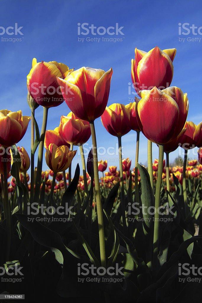 Flaming Tulips royalty-free stock photo