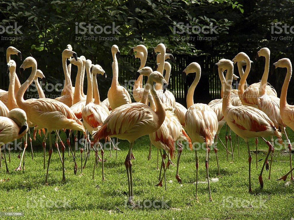 Flamingo 04 stock photo