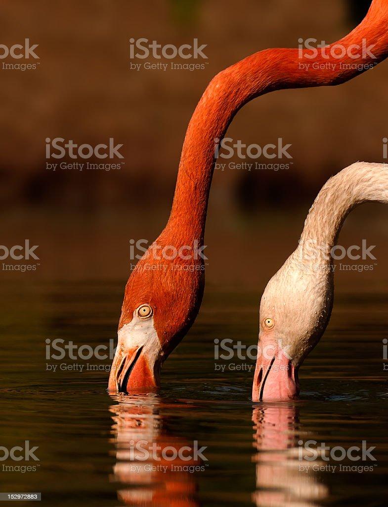 Flamingo 2 głowice zbiór zdjęć royalty-free