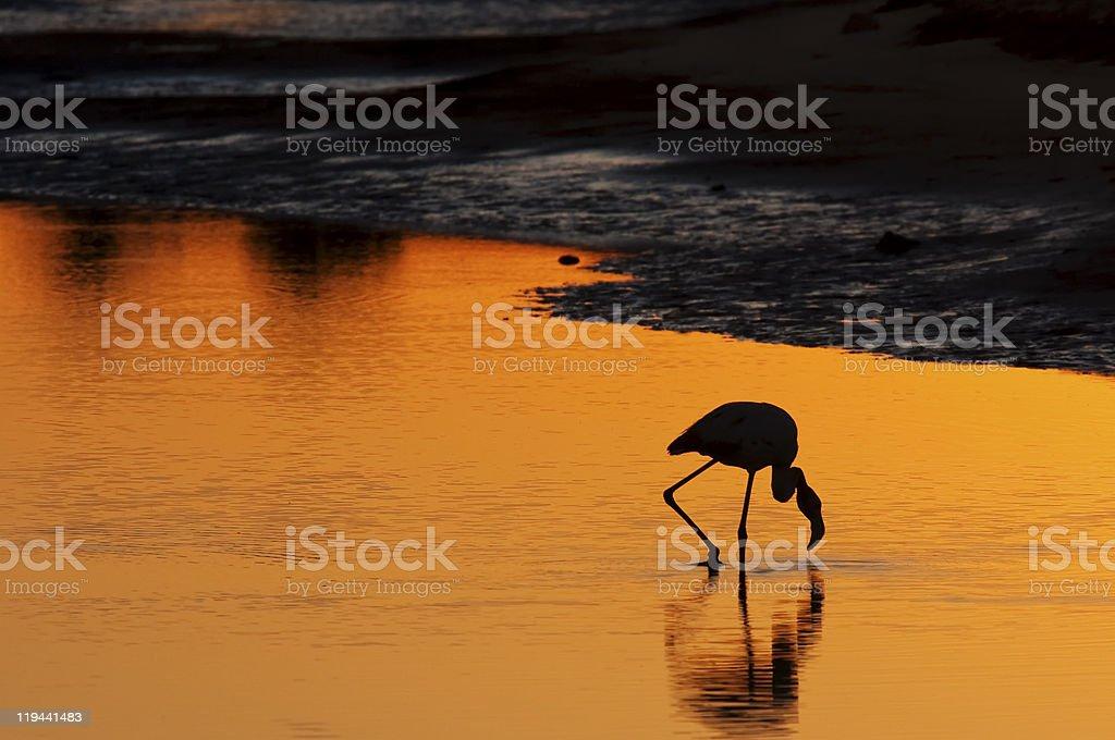 Flamingo at sunrise stock photo