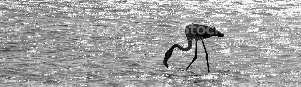 'Flamingo at Walvis Bay, Namibia.' stock photo