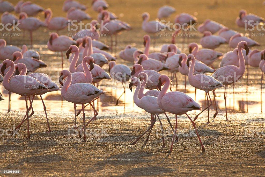 Flamingo at Walvis Bay wetland stock photo