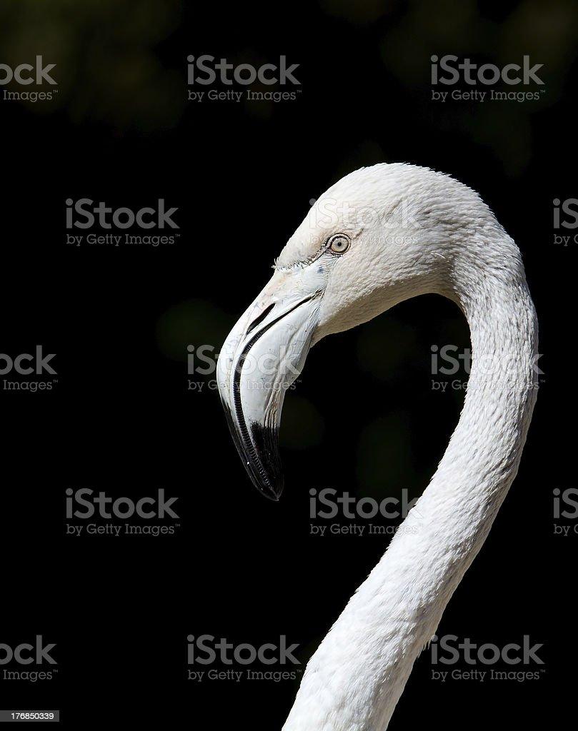 Flamingo, zbliżenie zbiór zdjęć royalty-free