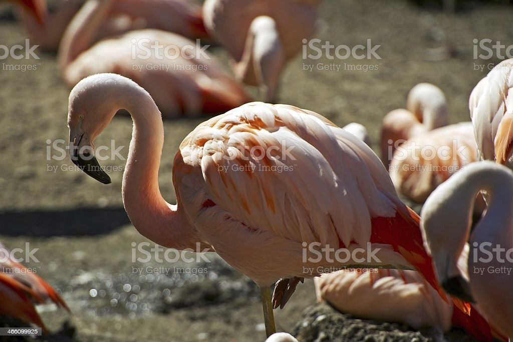 Flamingo Closeup royalty-free stock photo