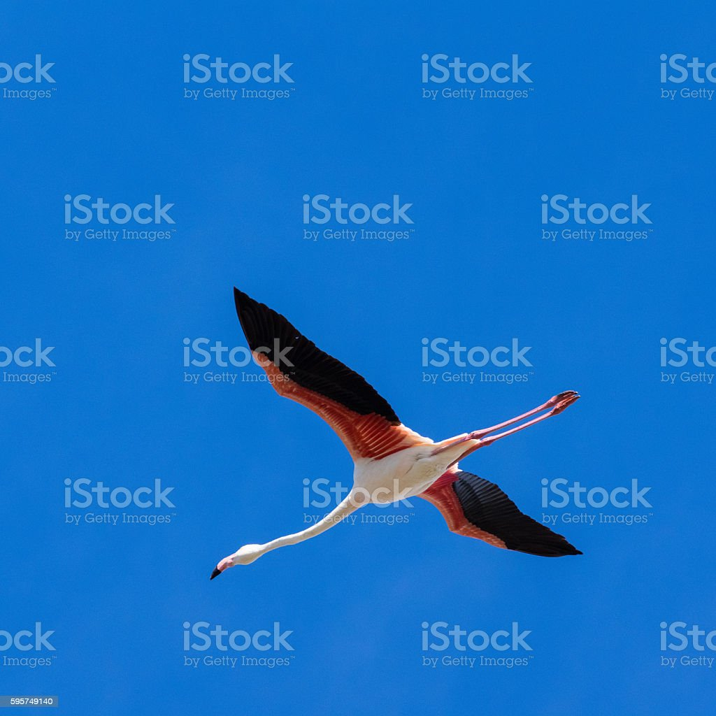 Flamingo flight stock photo