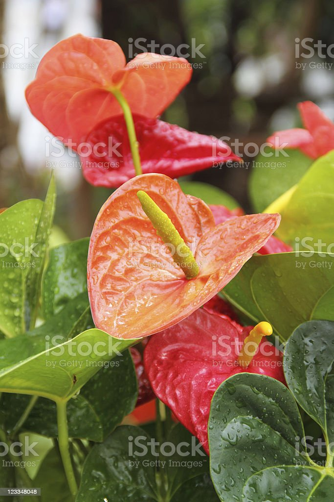 Flamingo flowers in a botanical garden stock photo